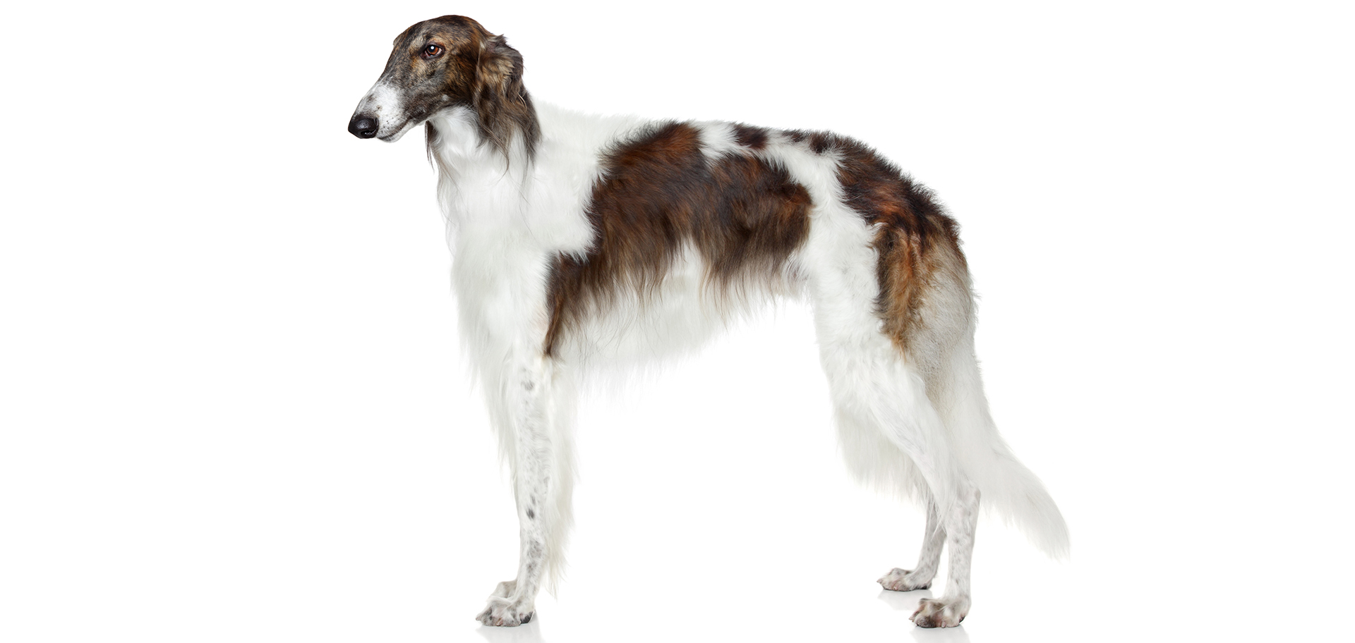 Breed Borzoi