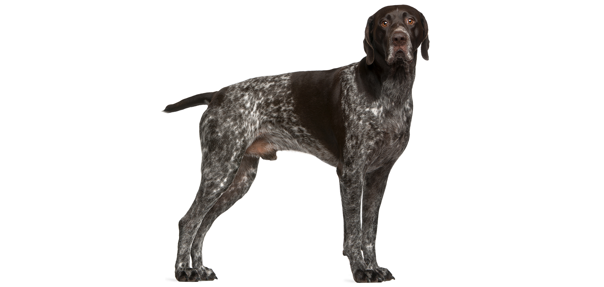 Breed German Shorthaired Pointer