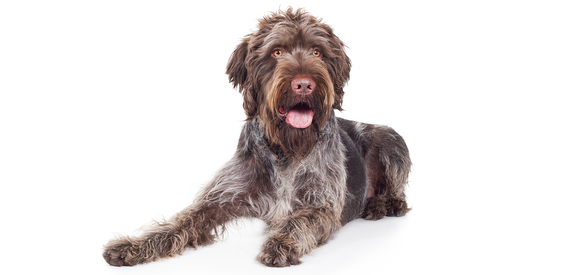 Breed German Wirehaired Pointer