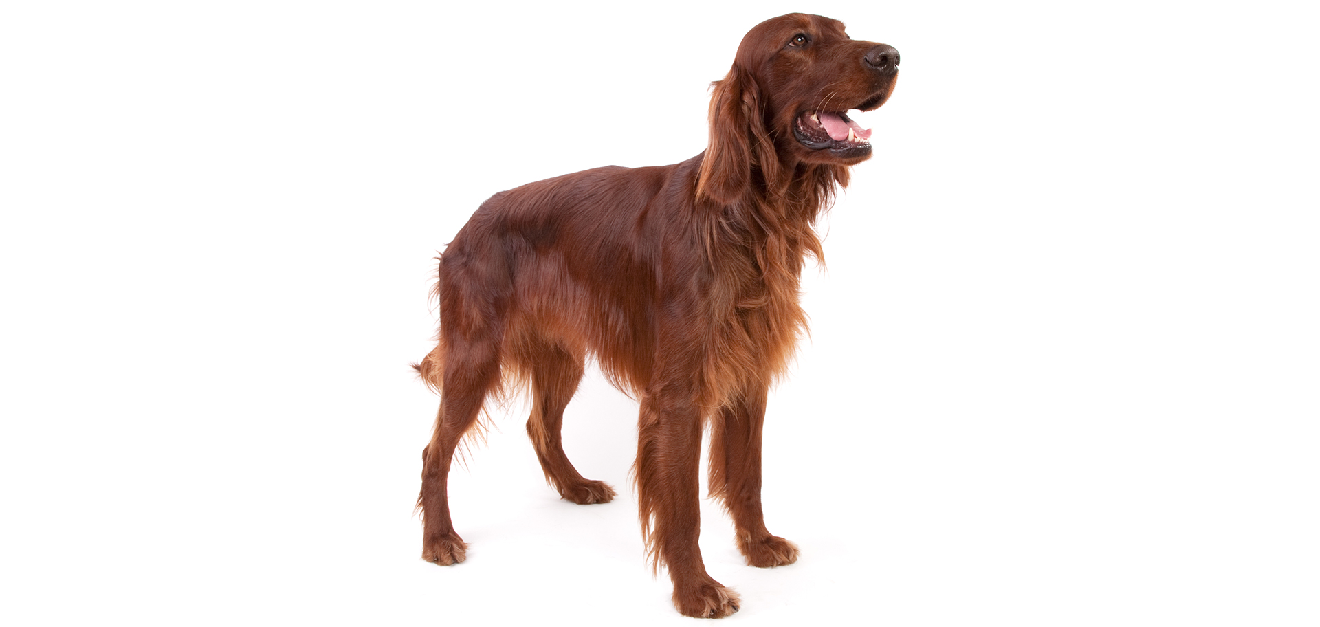 Breed Irish Setter