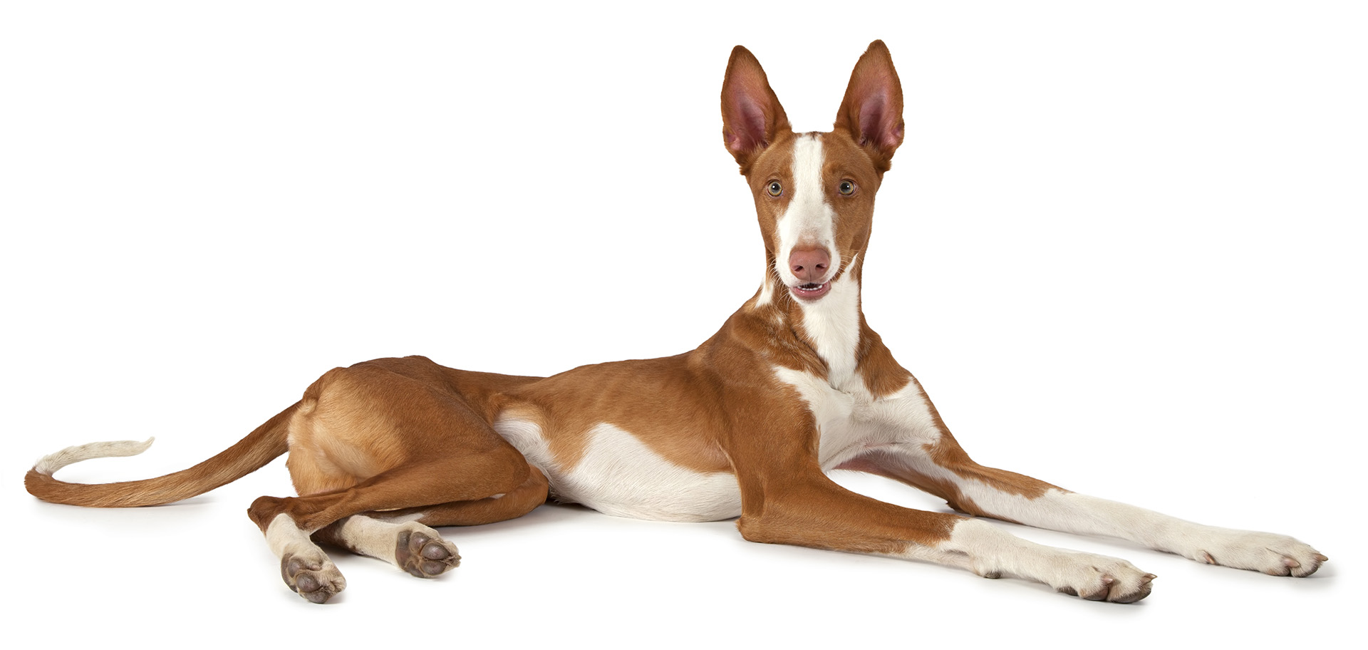 Image result for Ibizan Hound