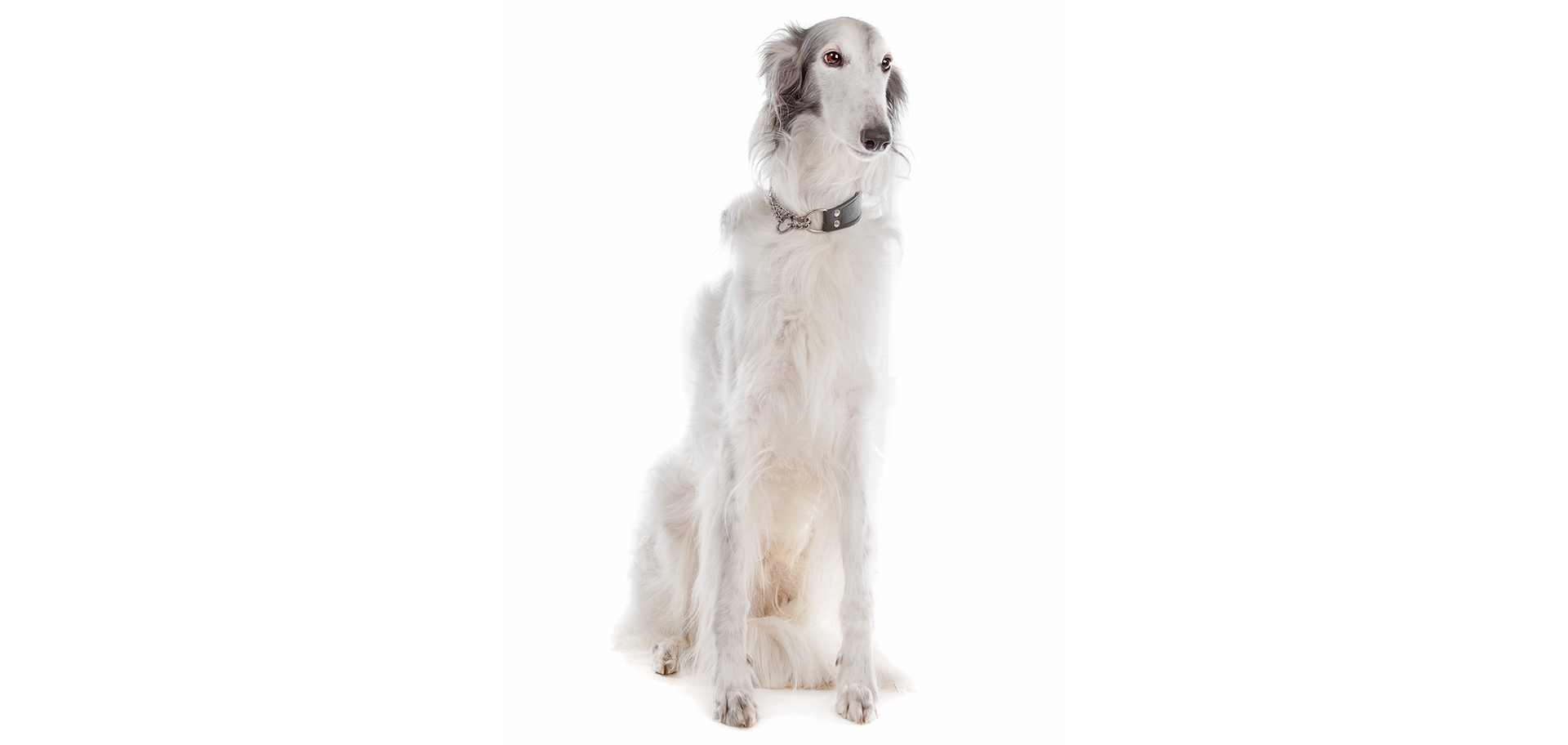 Breed Silken Windhound